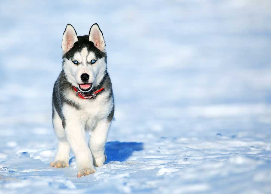 Huskies Stay Outside In The Cold