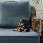 Dachshunds Live In Apartments