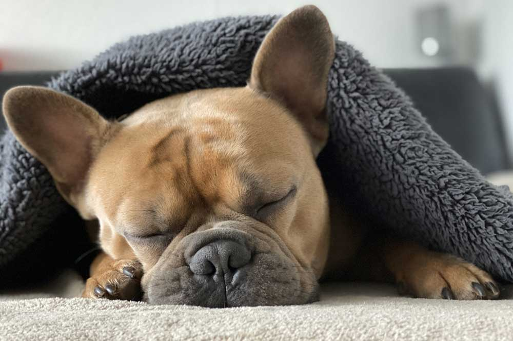 Do French Bulldogs Catch Colds