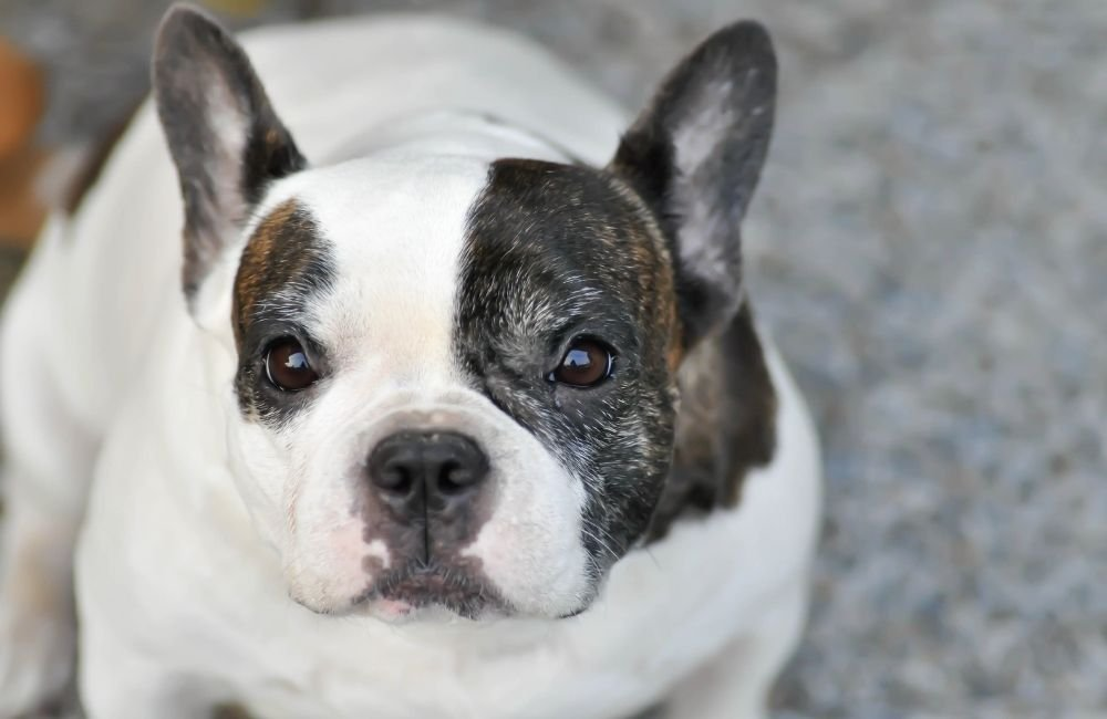 What Are French Bulldogs Scared Of