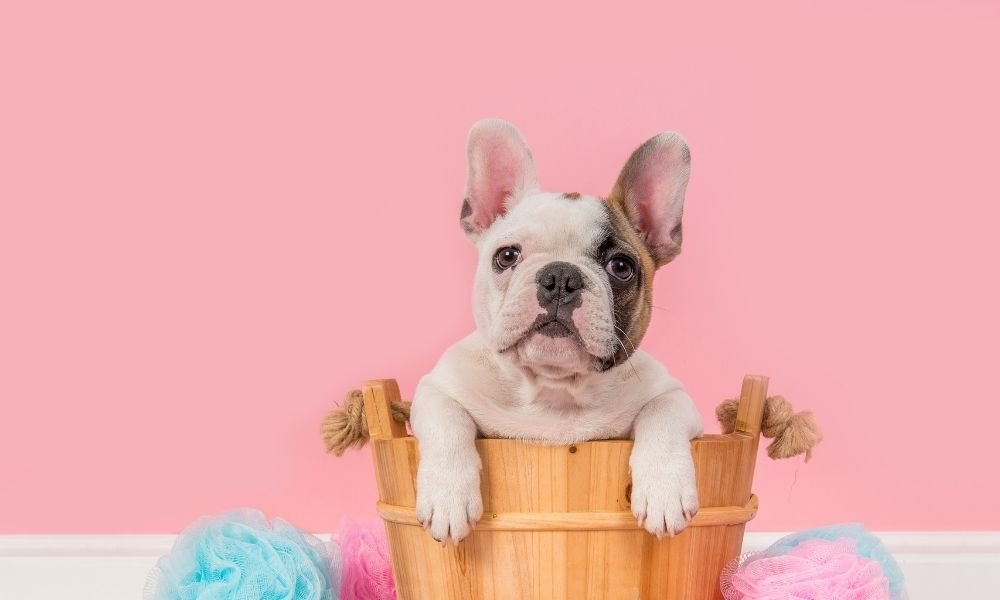 Are French Bulldogs Good Therapy Dogs For Emotional Support?