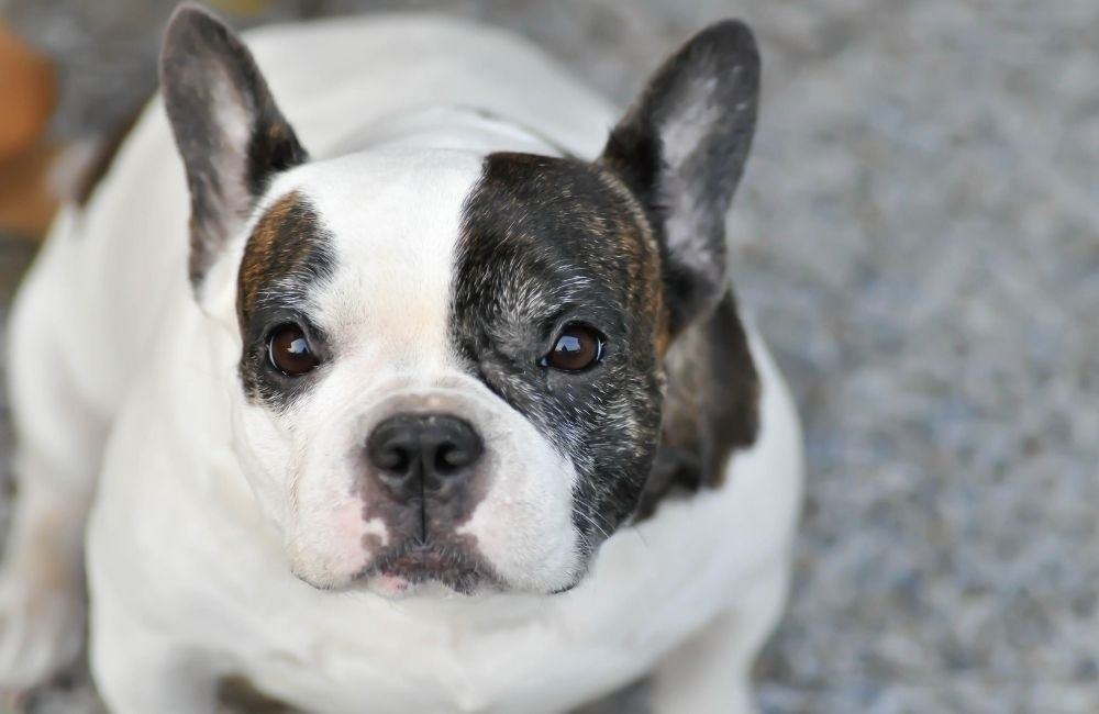 French Bulldog Scams: How To Avoid It?