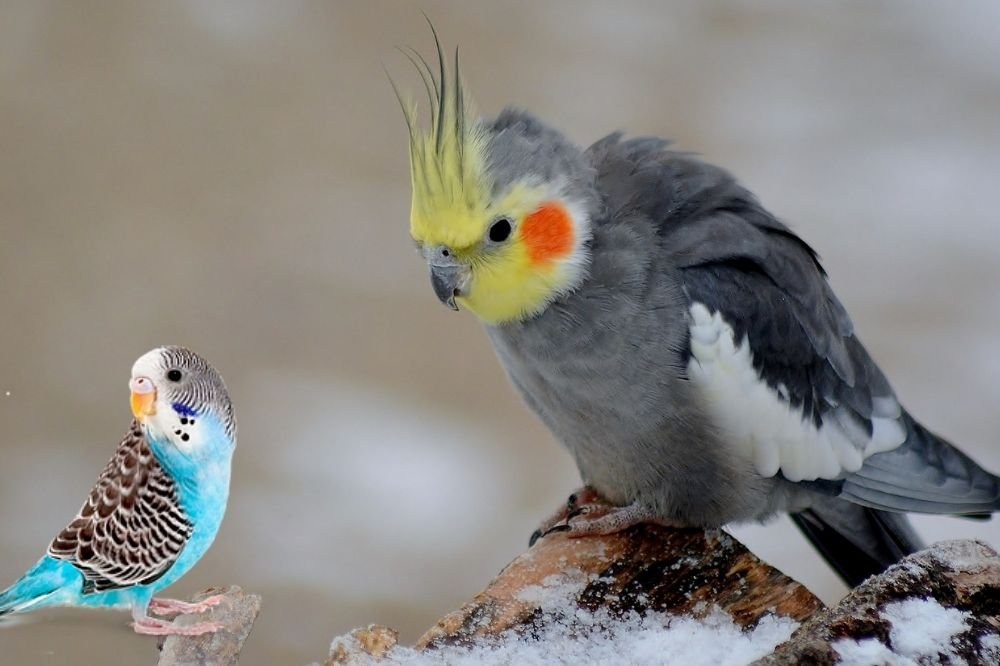 Budgies with Cockatiels