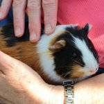 Can Guinea Pigs Learn Their Names?
