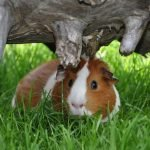Guinea Pigs Survive In The Wild