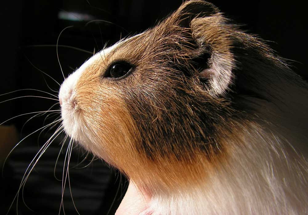 Guinea Pigs Whiskers