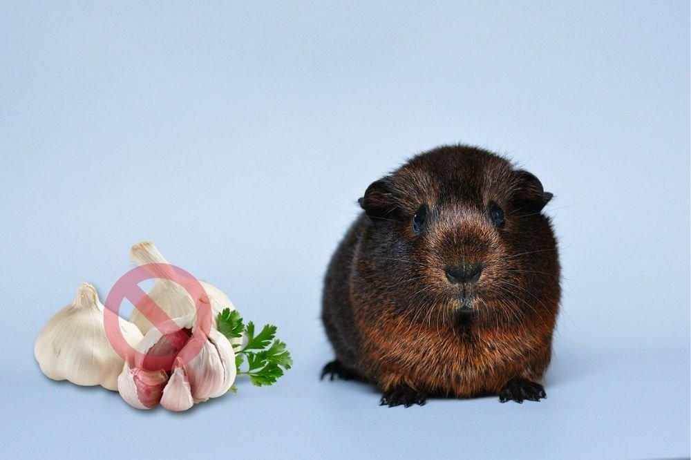 Guinea Pigs Can't Eat Garlic