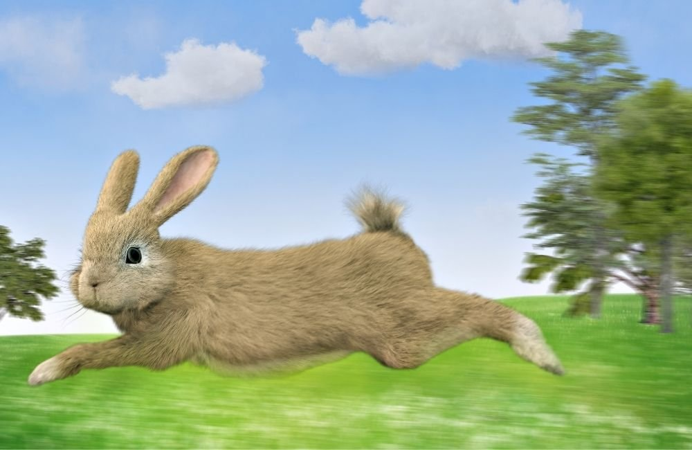 How Fast Can Rabbits Run