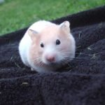 Hamster without food