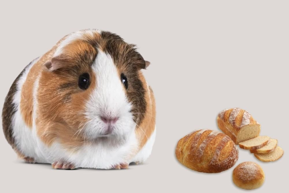 Can Guinea Pigs Eat Bread