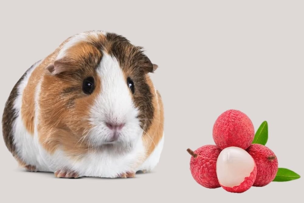 Guinea Pigs Eat Lychee