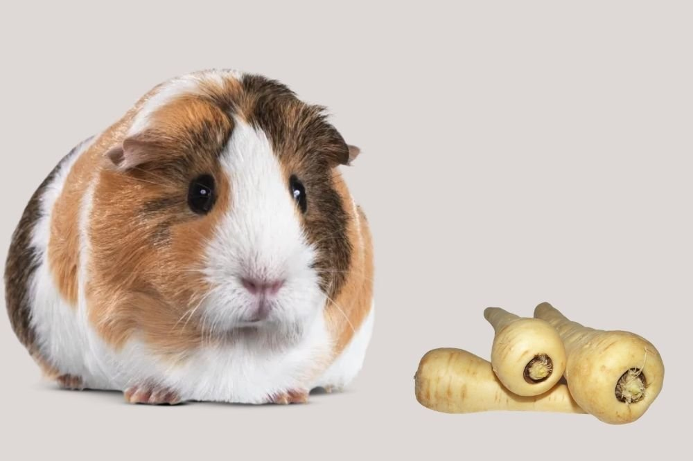 Can Guinea Pigs Eat Parsnip