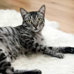 Coconut oil Safe for Cats