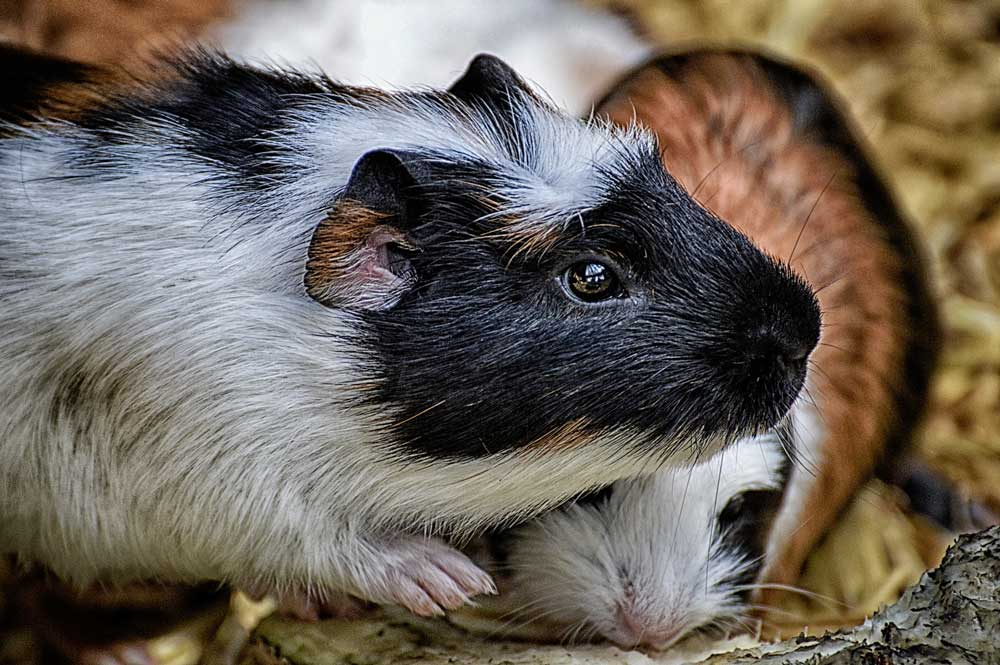 Guinea Pigs without water