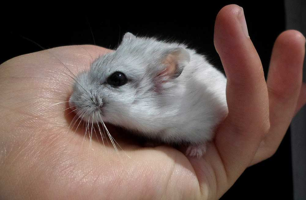 Hamster Out Of their Cage