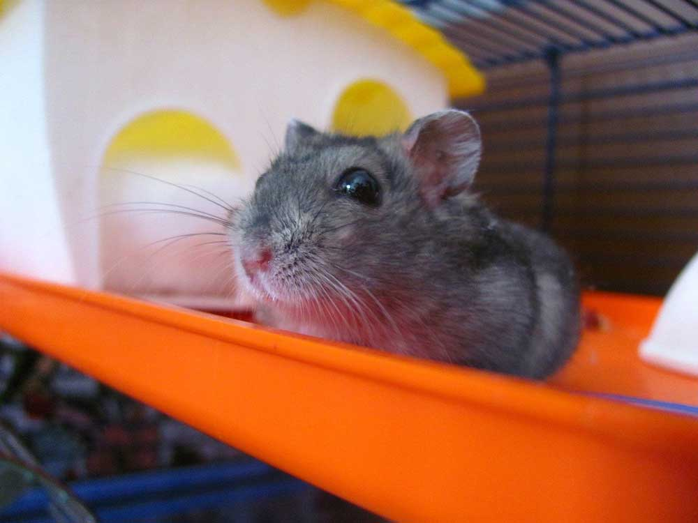 Hamsters Chirp