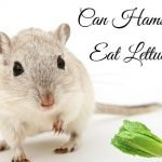 Can Hamsters Feed Lettuce