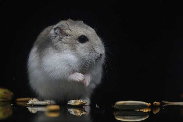 Can Hamsters See In The Dark