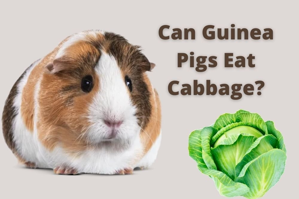 Guinea Pigs Eat Cabbage