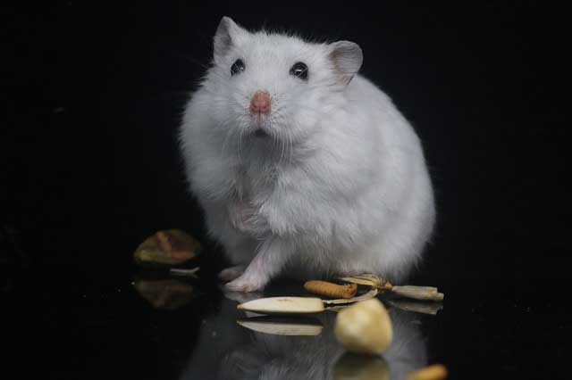 Do Hamsters able to Vomit