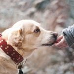 How To Cope With A Naughty Labrador