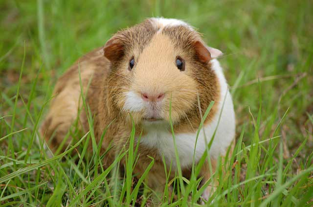 guinea pig's inability to move