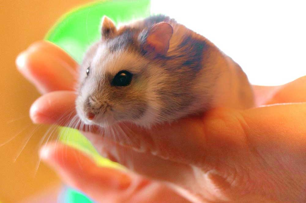 wet tail in hamsters