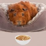 Can Guinea Pigs Eat Dry Cereal