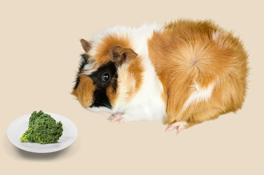 Feeding kale to your guinea pig