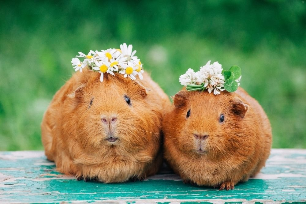 Guinea Pig Sleep facts you should know