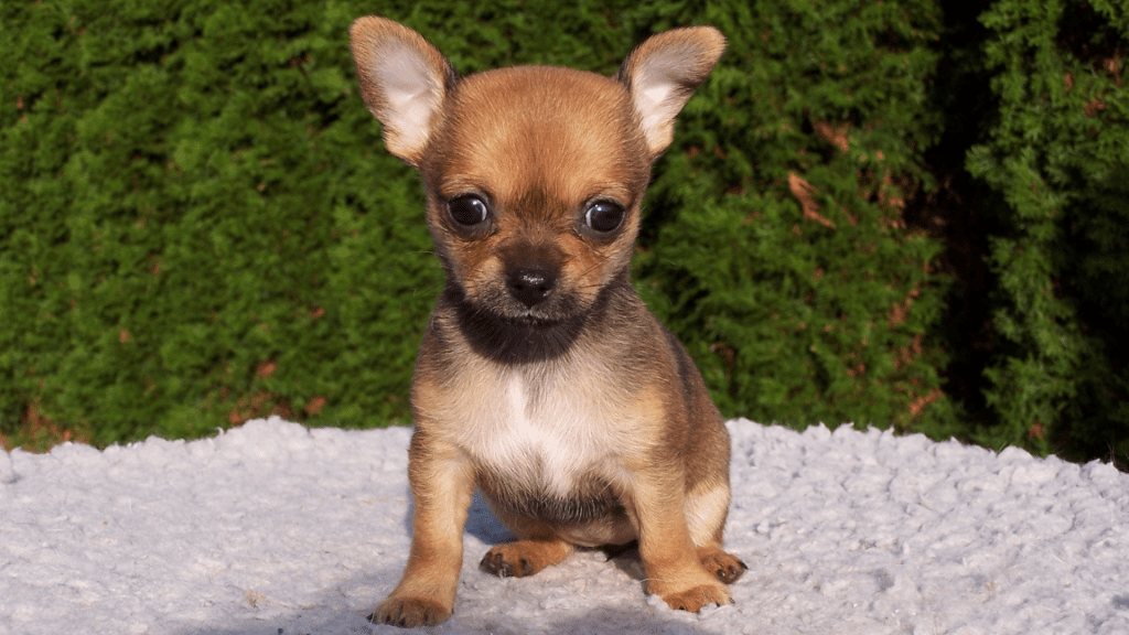 Short-haired Chihuahuas