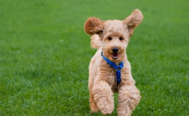 Are Poodle Puppies Easy To Train?