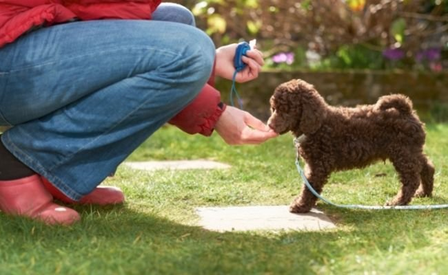 Why Training Is Good For Poodle Puppy