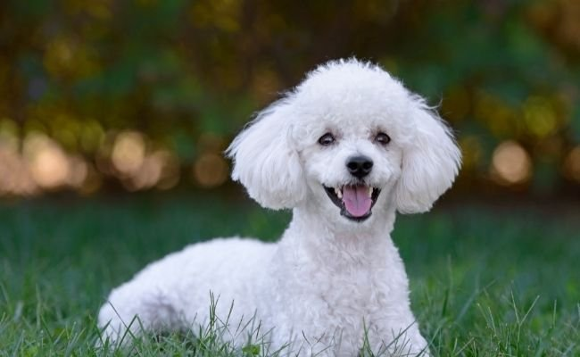 Are Poodles Aggressive?