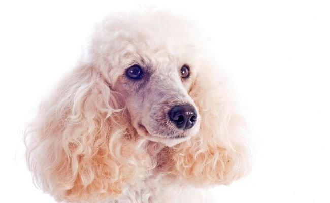Are Poodles Expensive To Own?