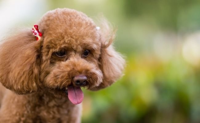 Type of Poodle