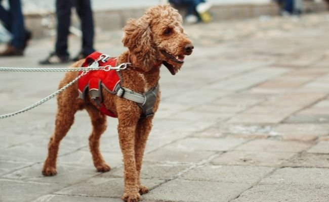 Are Poodles Good Service Dogs?
