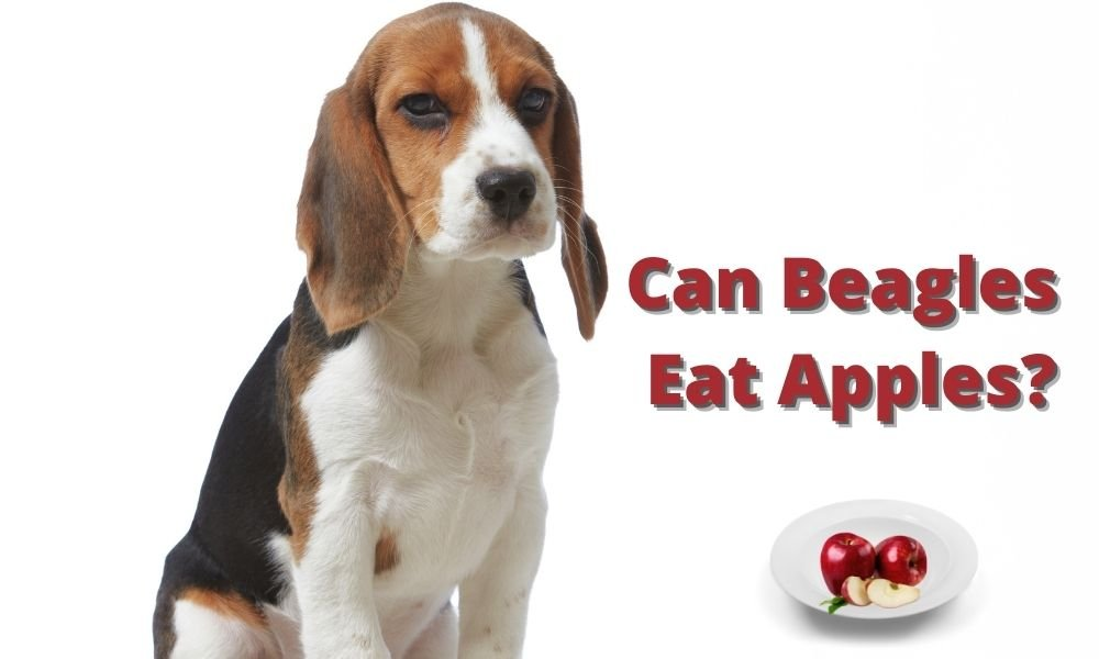 Can Beagles Eat Apples?