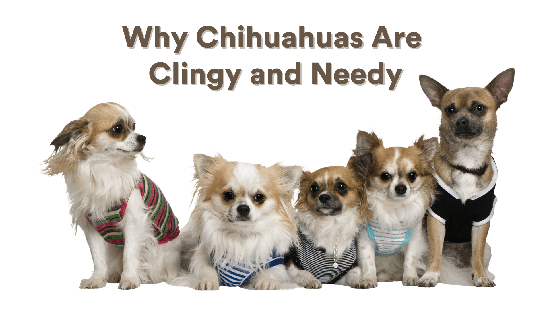 Why are Chihuahuas so Clingy and Needy?