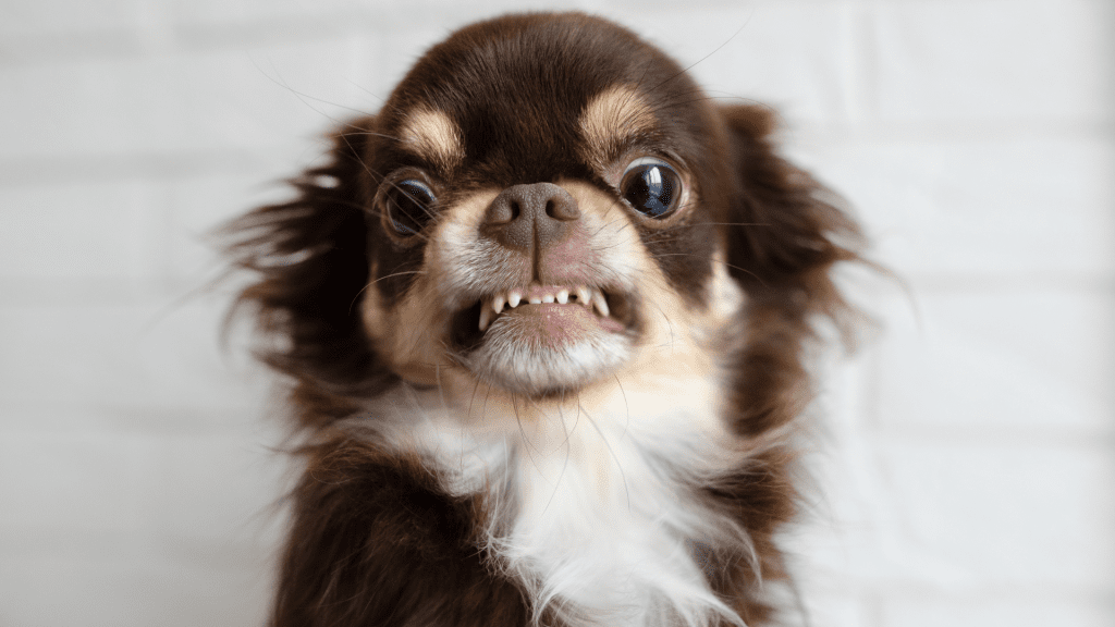Chihuahua's Personality and Temperament