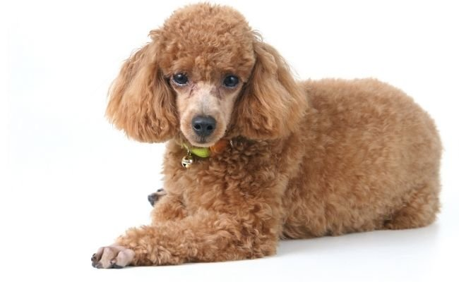Can Poodles Be Left Alone?