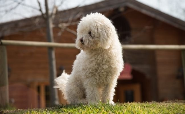 Can Poodles Live Outside?