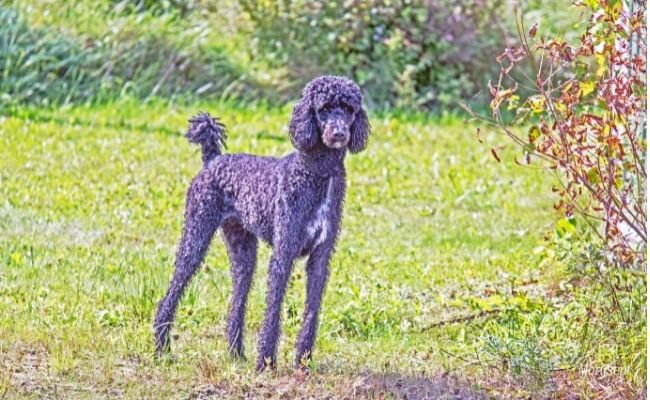 Can Poodles Make Good Guard Dogs?
