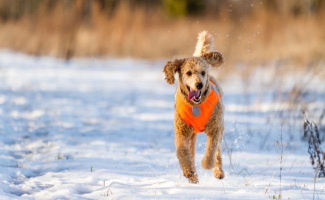 Can Poodles Run Long Distances- The Ultimate Guide To Running With Your Dog