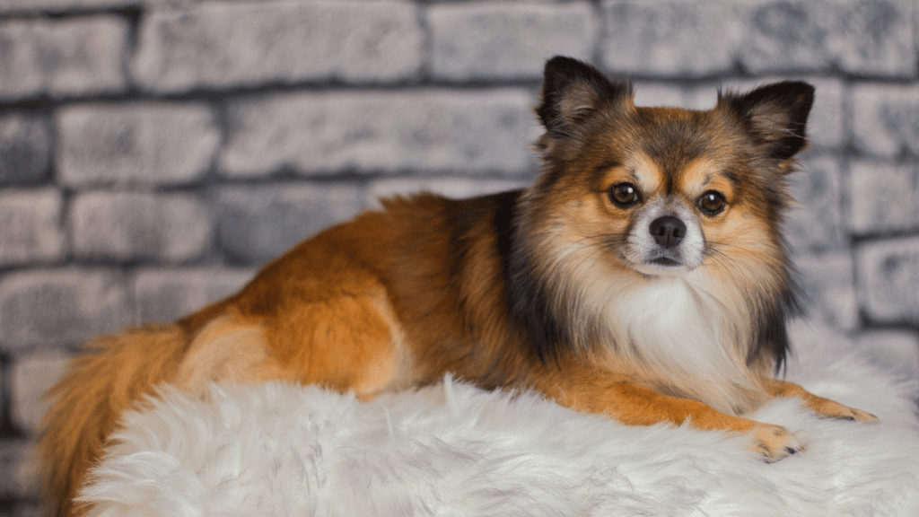 What are Chihuahuas?