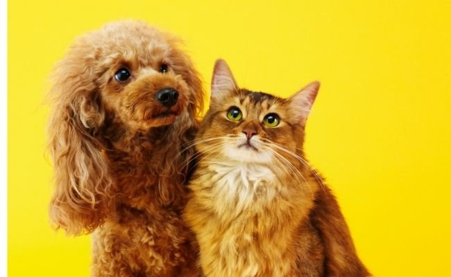 Do Poodles Get Along With Cats