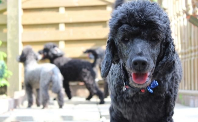 Do Poodles Get Along With Other Dogs?