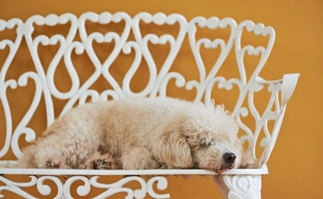 Why Your Poodle Is Sleeping More