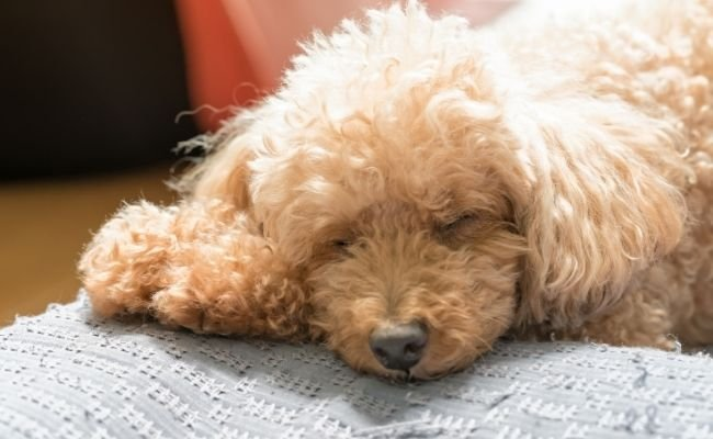 How Much Sleep Do Poodles Need?