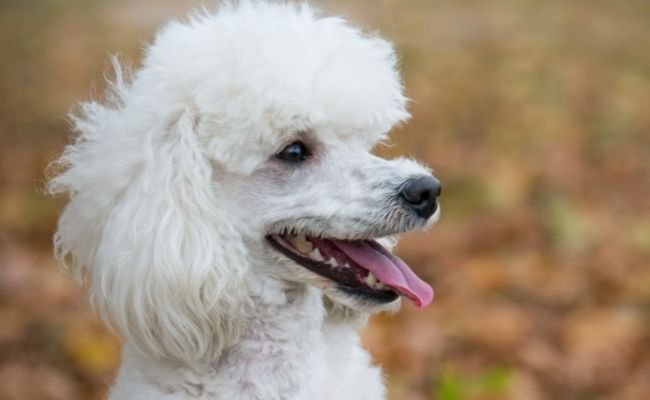 Why Poodles Drool Excessively?
